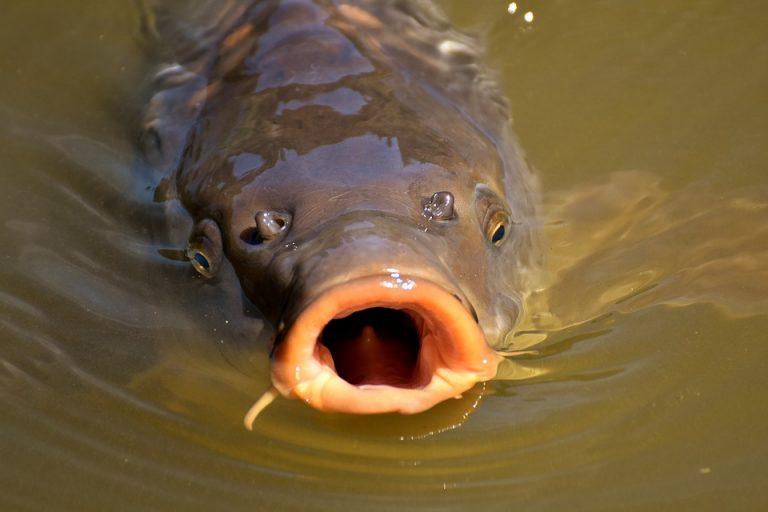 Comment pêcher la carpe Lot et Garonne ?
